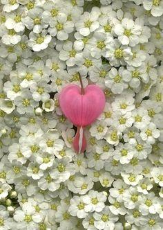 Single Pink Bleeding Heart..Beautiful