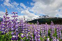 Alaska Wild Flowers