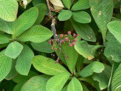 Euphorbia umbellata -