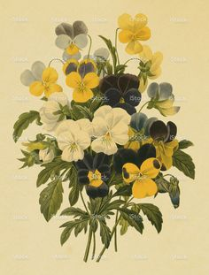 Pansy | Antique Flower Illustrations stock illustration 10874255 - iStock