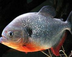 Gallery of Amazon fish