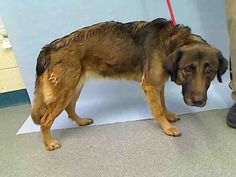SAFE - 07/21/15 - TO BE DESTROYED - 07/19/15 - LANTERNA - #A1043716 - Urgent Manhattan - FEMALE BROWN/BLACK COLLIE ROUGH MIX, 3 Yrs - STRAY NO HOLD Intake Date 07/12/15