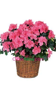 Açelya Çiçeği Bakımı, Yetiştirilmesi, budanması, sulanması, toprak, vitamin, ışık, ve rüzgar faktörlerine karşı direnci.