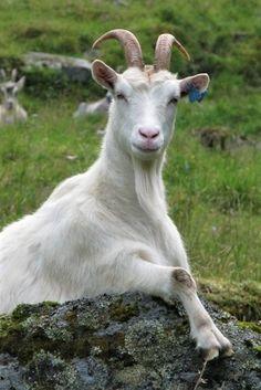 Cabras Saanen, Farm Animals, Cute Animals, Old Farm Houses, Country Scenes, Rococo, Farm Life, Sheep, Goats