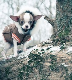 chihuahua puppy during winte #chihuahua puppy during winter