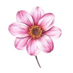 http://www.soc-botanical-artists.org/wp-content/uploads/Godwin-JarnieAssociate-Dahlia.jpg