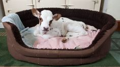 My mini cow will so have a dog bed