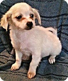 Fredericksburg, VA - Chihuahua Mix. Meet Alaska, a puppy for adoption. http://www.adoptapet.com/pet/12786159-fredericksburg-virginia-chihuahua-mix