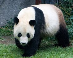 Pandas are rare and cherished in China.