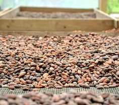 Check out my tour of the Finca Kobo Chocolate Plantation in Costa Rica