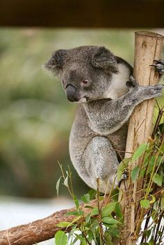 Koala Bear is listed (or ranked) 33 on the list The World's Most Beautiful Animals