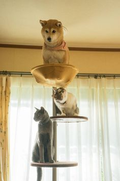 """I need two full days to recover from this shiba bullshit."" 