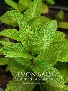 Lemon Balm - Natural Bee Sting Remedy- Herbal Academy of New England
