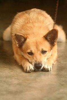 Oh, how I want a Filipino dog.