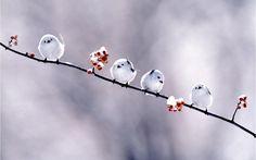 snowbird chicks (Long-tailed Tit, Aegithalos caudatus japonicus)