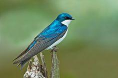 Tree Swallow by Prem Balson on Fotoblur | Bird Photography