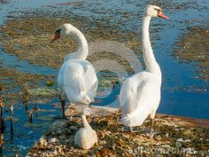 Photo about A white trumpeter swan family of a mom, dad and baby swan on the lake. Image of pads, white, nest - 146251122 Mom Dad Baby, Mom And Dad, Photos For Sale, Free Stock Photos, Baby Swan, Trumpeter Swan, Dads, Image, Fathers