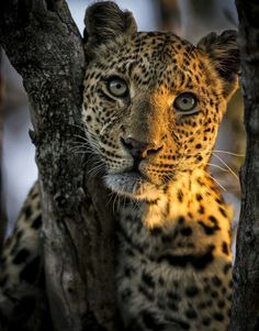 A Leopard With an Inquisitive Stare.