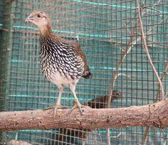Ejemplar de Sonerati en las instalaciones del Parque Zoológico Ornitológico de Avifauna