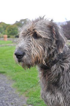 Irish Wolfhound...