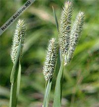 Тимофеевка, лисохвост луговой (Phleum pratense)