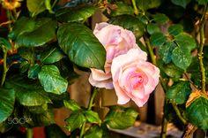 pink rose - null