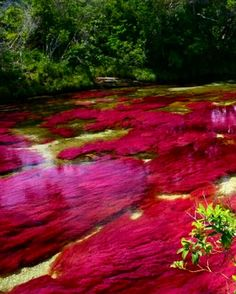 "Amazing photos of the ""liquid rainbow"" river in colombia. you've got to see these! - There is a river in colombia, located in the serrania de la macarena province of meta, known to locals as ""the river of five colors"" or ""the liquid rainbow"". Florida Springs, Oh The Places You'll Go, Places To Travel, Places To Visit, Florida Vacation, Florida Travel, Florida Camping, Florida Trips, Florida Usa"