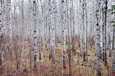 One majestic stand after another of aspen trees can be seen along the Boreal Trail, Saskatchewan