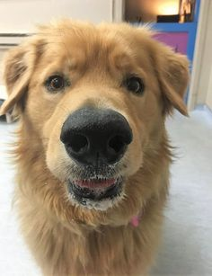 Omar needs a new family after his person went into hospital. He's the sweetest bear and golden retriever ready for love & adventure! Ready For Love, Golden Retriever Mix, Dog Heaven, Dog Stories, Old Dogs, Pet Care, Best Dogs, Adoption, Handsome