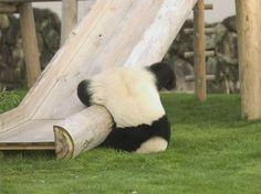 http://www.facebook.com/MissDailyNL - www.missdaily.nl - #animal #panda #falling #funny #fun #cute #slide