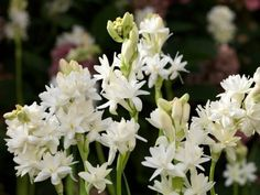 Fragrant, showy flowers in late summer lead many to plant tuberose plants. When planting tuberose plants, keep in mind that timing and location are key for success. Garden Bulbs, Planting Bulbs, Planting Flowers, Night Flowers, Bulb Flowers, Flor Angelica, Ornamental Plants, Garden Care, Plantar