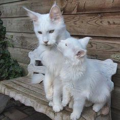 Maine Coon - Timaracoon's EL'Va Vite ♥️ and her mother Timaracoon's Kylie Minoque Kylie Minoque, Small Cat, Maine Coon Cats, Baby Cakes, Cats And Kittens, Cute Animals, Creatures, Friends, Heart