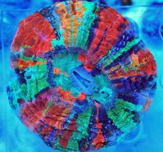 ultra rainbow coral - Google Search