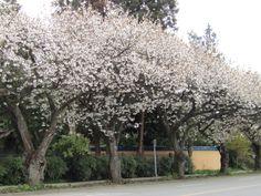 Photo By Deborah Sim Tai Haku Great White Cherry Trees Park And Tilford Gardens North Vancouver Spring Flowering Trees Ornamental Cherry Garden Trees