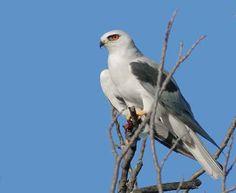 White Tailed Kite - San Diego back country