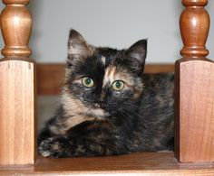 Our tortoiseshell cat Spice