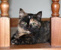 Our tortoiseshell cat Spice