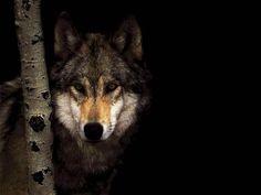 wolf lonely wolf in dark wildlife wallpaper Wolf Photos, Wolf Pictures, Animal Pictures, Beautiful Creatures, Animals Beautiful, Cute Animals, Wild Animals, Majestic Animals, Wolf Spirit