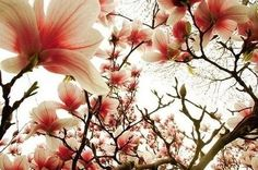 beautiful, beautifull blossoms, blossom, blossoms, branches, cherry tree - image #25982 on Favim.com