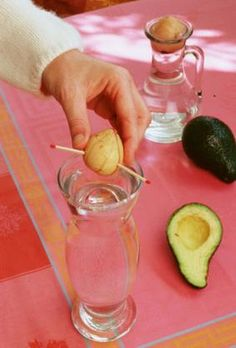 1000 ideas about planter noyau avocat on pinterest noyau avocat avocado tree and cuttings - Faire pousser un noyau d avocat ...