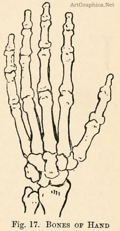 Drawing For Beginners bones of the hand, learning art Drawing Skills, Drawing Sketches, Art Drawings, Drawing Tips, Drawing Ideas, Sketching, Skeleton Drawings, Skeleton Art, Skeleton Hands