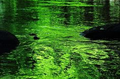 Reposting Not black gold, but green gold. Reflections from the surrounding forest in the flowing river, in the bottom of a small valley. Green And Gold, Black Gold, Your Shot, Canon, Adobe, Shots, Earth, River, Outdoor