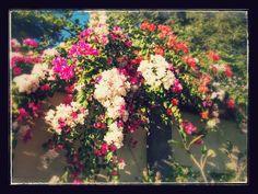 Multicoloured Bougainvlle from the villa Semadhi garden
