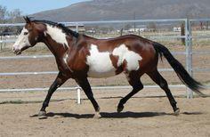 bay overo - Paint Horse stallion Color Me Custom