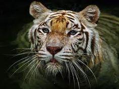 Amazing .... White Tiger