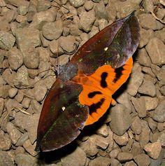 Moth (Eudocima sp.) in New Guinea
