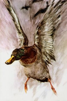 Things of beauty I like to see — Animal portraits by Rien Poortvliet (Dutch,. : Things of beauty I like to see — Animal portraits by Rien Poortvliet (Dutch,. Art Canard, Canard Colvert, Watercolor Bird, Watercolor Animals, Watercolor Paintings, Animal Sketches, Animal Drawings, Duck Art, Bird Artwork