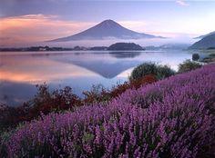 Lake Kawaguchi lavender fields in Japan