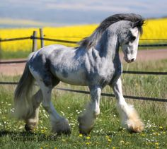 Absolutely stunning coloration and form Most Beautiful Horses, All The Pretty Horses, Animals Beautiful, Cute Animals, Cute Horses, Horse Love, Gypsy Horse, Majestic Horse, Friesian