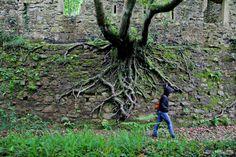 Las raíces de los árboles asoman en los muros del fuerte de Ametzagaina.